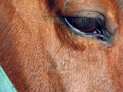 Close up of horse's eye. Wikipedia image.
