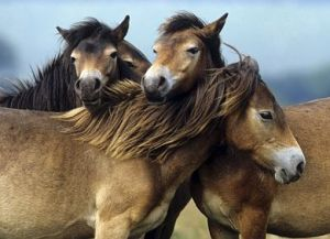 Exmoor pony horses are first to be imported in plans to protect landscapes and endangered wildlife.  Image: ČTK.