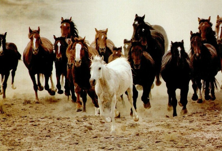 Herd of Wild Horses Running. Google Image.