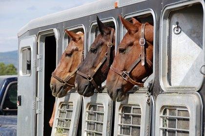 Three horses in a travel trailer. Image-TheHorse.com.