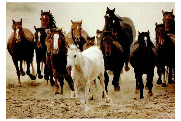 Herd of Wild Horses Running. Google_Image.
