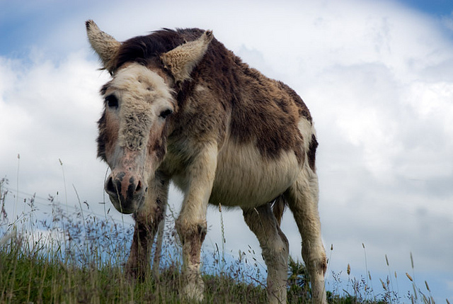 Donkey grazing in the countryside of Ireland. Google image.