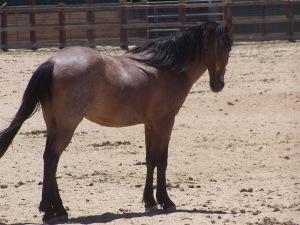 This is Pokey. Image courtesy of Lifesavers Wild Horse Rescue.