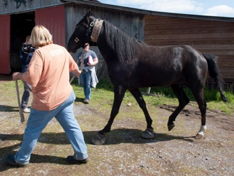 Authorities seized 19 horses who may have been subjected to animal cruelty from a Blount County, Tenn., barn and transported them to safety on Thursday, April 25, 2013. (Kathy Milani/Humane Society of the United States)