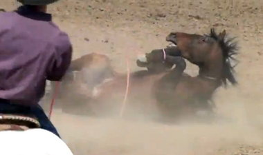 Whether it is called horse tripping, or looping, it is a dangerous and terrifying event for the horse, resulting in injury and death.  We have found that most of the horses used in this cruel and shameful event are bought out of feedlots or from kill buyers for slaughterhouses.  Another reason to end horse slaughter, as if we need one.  SHARK image.