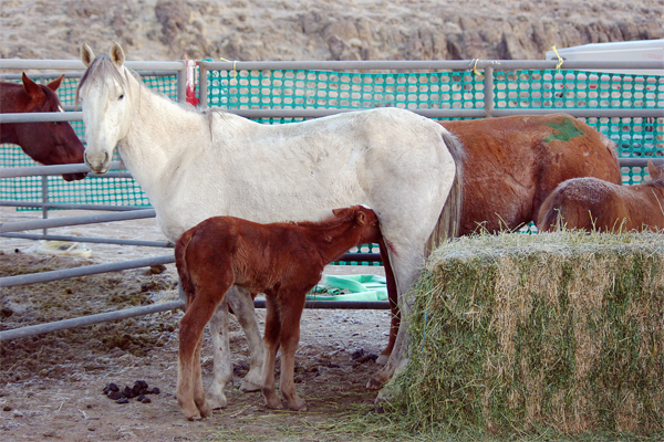 BLM image of captured mare and foal from 2012 Owyee Herd Management Area roundup. Where are they now?