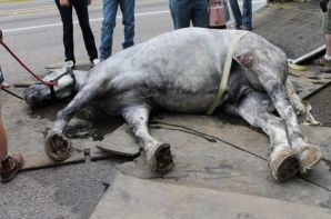Salt Lake City carriage horse Jerry collapses in the high heat. Photo: Amy Meyer / Peta.