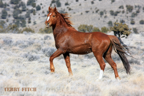 Nevada Mustang by Terry Fitch.