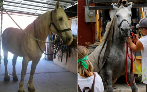 The photo on the left was sent out Wednesday, Aug. 21 by Carriage for Hire. The photo on the right was taken by Jeremy Beckham on Aug. 17. Both photos purportedly showed Jerry the carriage horse, who collapsed in downtown Salt Lake City on Saturday, Aug. 17 from a sudden bout of colic.  Jerry has now died.