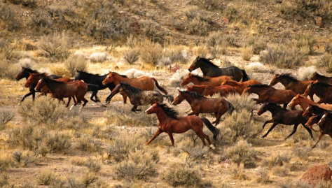 Wild horses of Nevada. Photo Credit: Brian T. Murphy.