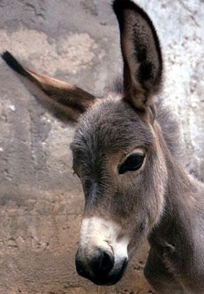 Donkey portrait. Google image.
