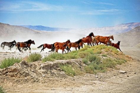 Hidden Valley wild horses, Nevada. Photo credit: Frank Kloskowski.