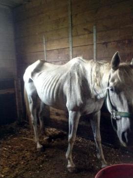 Starving horse in Ontario horse abuse case. Photo: Toronto Star.