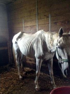 Starving horse in Ontario horse abuse case. Photo: Toronto Star.
