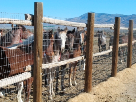 Wild horses, rounded up and held captive, stand behind a fence at the Bureau of Land Management's Palomino Valley holding facility in Palomino Valley, Nev. Scott Sonner/AP.