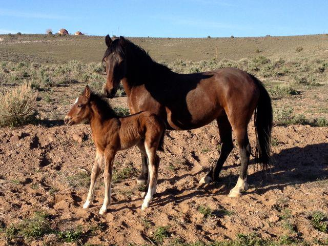 Virginia Range mare and foal. Photo: Mark Robison.
