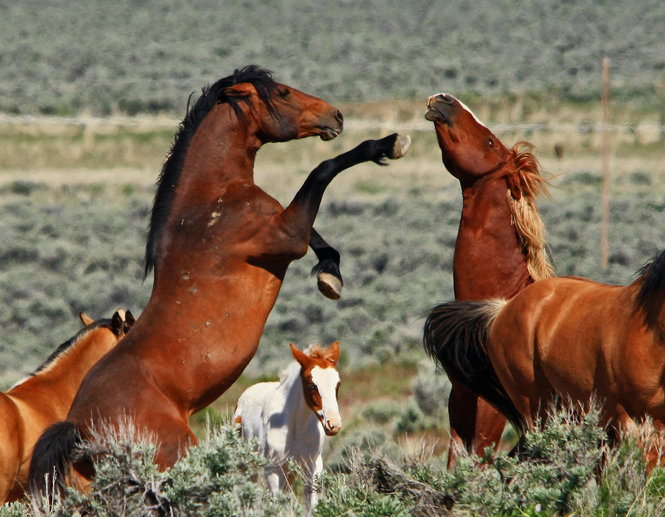 Wild horses do battle in SE Oregon. Image by OregonLive.