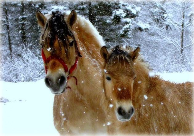 Norwegian Fjord Horses Facebook 630 215 442 Tuesday S Horse