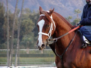 Racehorse training at Santa Anita. Photo credit: Nikki Burr.