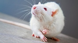 White-haired rat. Google image.