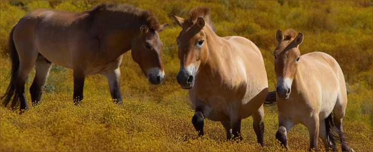 Captive Przewalski horses in the Safari Park at San Diego Zoo. Source imag.
