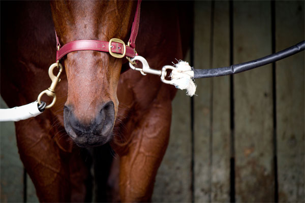 Horse tied in stall. Photo credit: HorseRacingKills.com.