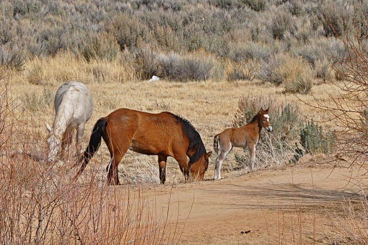 Wild Horse Family. Photo Credit: Capitol Report New Mexico.