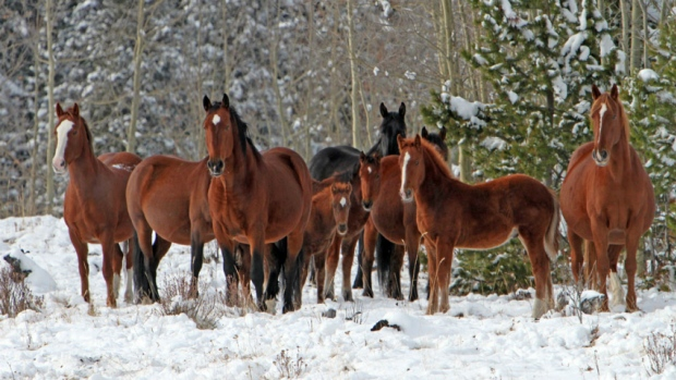 Photo: Wild Horses of Alberta Society