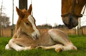 Belgian Foal.