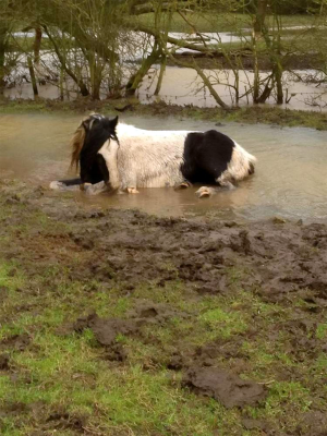 Thousands have joined a campaign to save horses from a flooded field in Fosse Park, Leicester (Picture: Mark Johnson / SWNS)