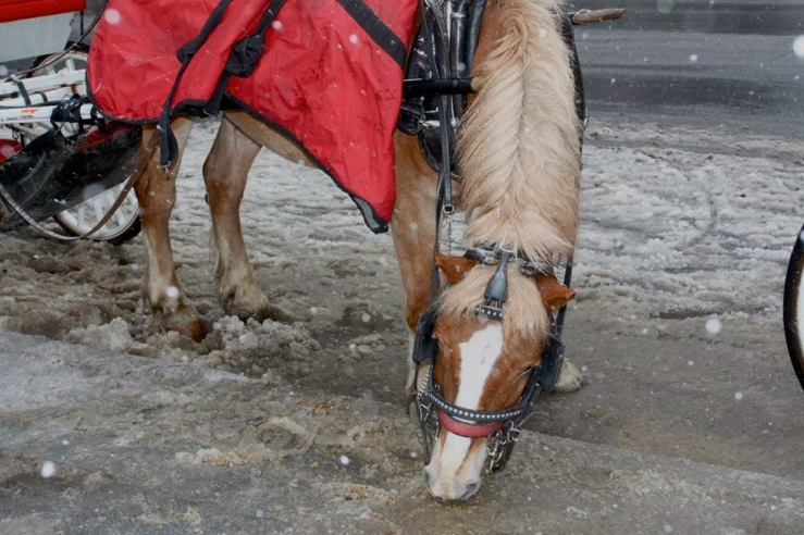 A Manhattan carriage horse nibbles in the slush. Image by Carriage Horses NYC.