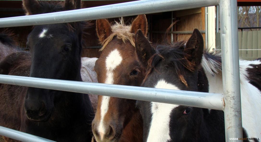 Trio of Rescued Premarin Foals. Photo: Vivian Grant Farrell