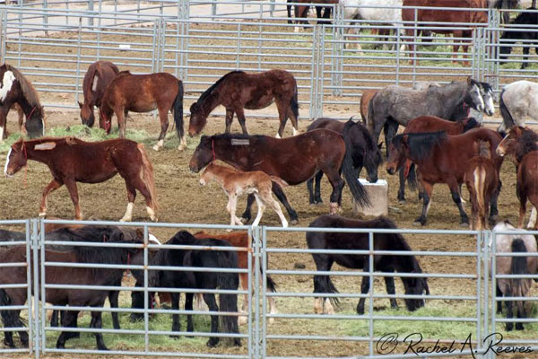 Wild horses corralled by the BLM with no protection from harsh wind storms.