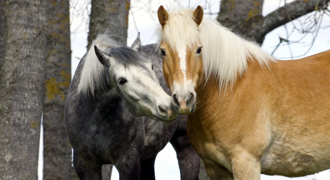 featured-image-belgian-horses