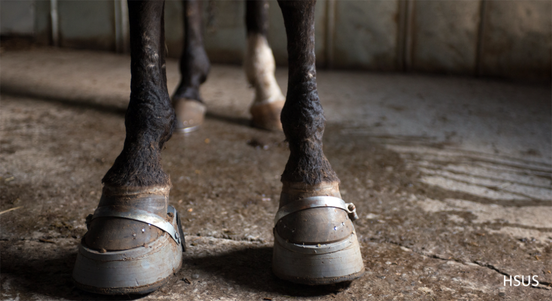 Stacked shoes of a sored Tennessee Walking Horse. HSUS image.
