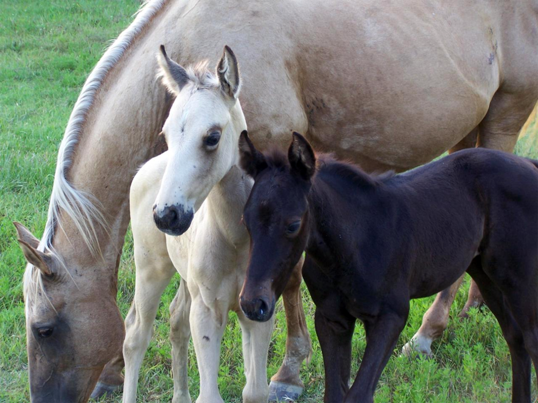 Mare with twin foals. Google image.
