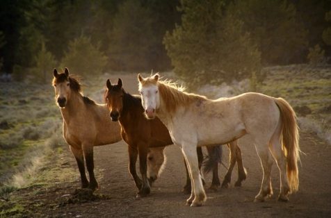 The USFS is planning to eliminate 80% of wild horses from the Devil's Garden Plateau Wild Horse Territory (WHT). The WHT is located within Modoc County beginning about seven miles north of Alturas, California and comprises approximately 232,520 acres of federal land. This area is 97 percent National Forest System lands administered by the Modoc National Forest's Devil's Garden and Doublehead Ranger Districts (MDF) and three percent public land administered by the Bureau of Land Management's Alturas Field Office. Image and caption information: Outdoor News.