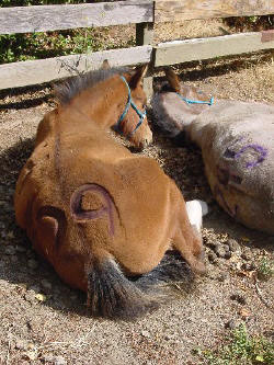 Premarin foals.