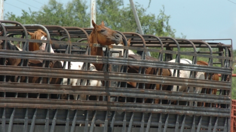 Horses on slaughter truck. HSUS photo.