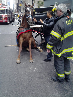 PHOTO: GARTH BURTON Fallen carriage horse, New York City.