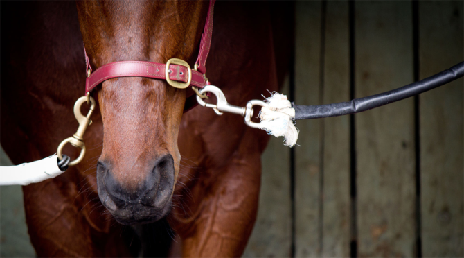 Racehorse tied in stall.