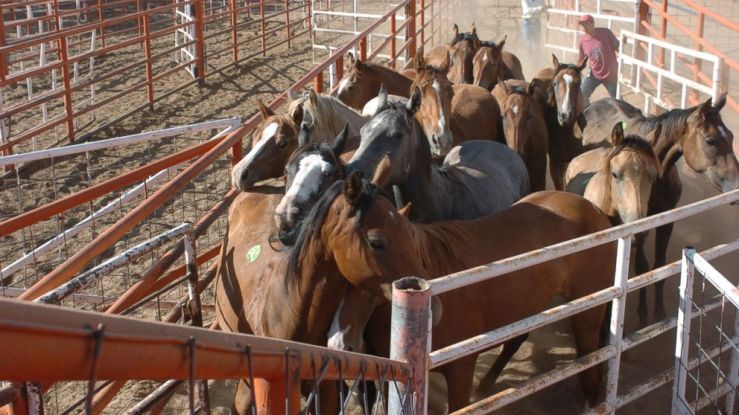 Horses held in a pen awaiting export for slaughter. Photo by Kathy Milani for HSUS.