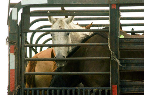 A horse peers out from a cattle truck full of horses on its way from the U.S. to Mexico for slaughter.