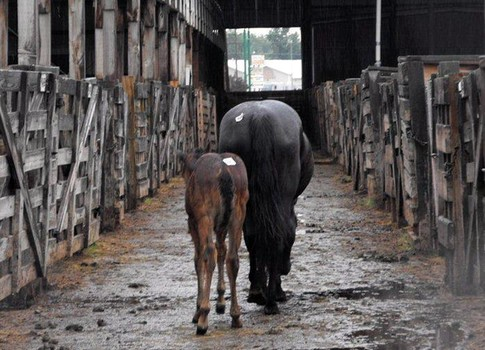 A mare and foal slowly make their way down the aisle of a slaughter auction house, tagged for a brutal death. Google image. Photographer not cited.