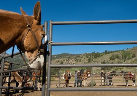 Mules will also be used by Special Forces. (Photo: Jack Gruber, USA TODAY)
