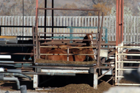 Pictured: Horses in Bouvry's slaughter pen, Fort MacLeod, Alberta, Canada.  Claude Bouvry is reportedly usin considerable resources lobbying regulators and lawmakers in both the US and the EU against any measure that would interfere with the horse meat industry in the NA.