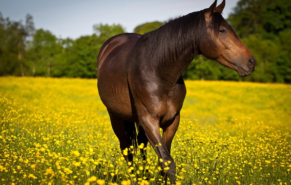 Horse in a field of yellow flowers.