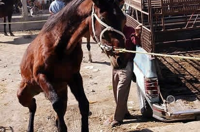 Rodeo horses being dragged to a rodeo event in Mexico.