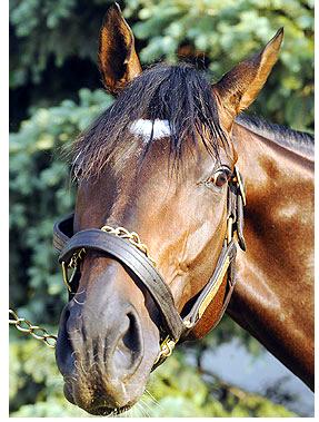Thoroughbred Racehorse, PRIME CUT.