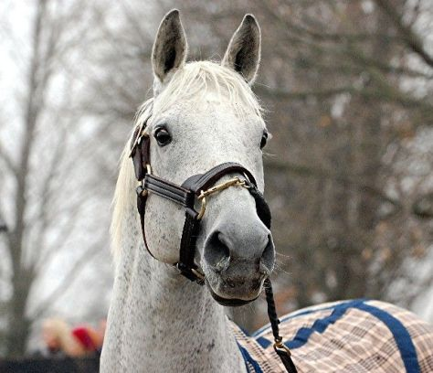 Newest retiree at Old Friends, Silver Charm who recently returned home from stud duty in Japan. Photo: Rick Capone.